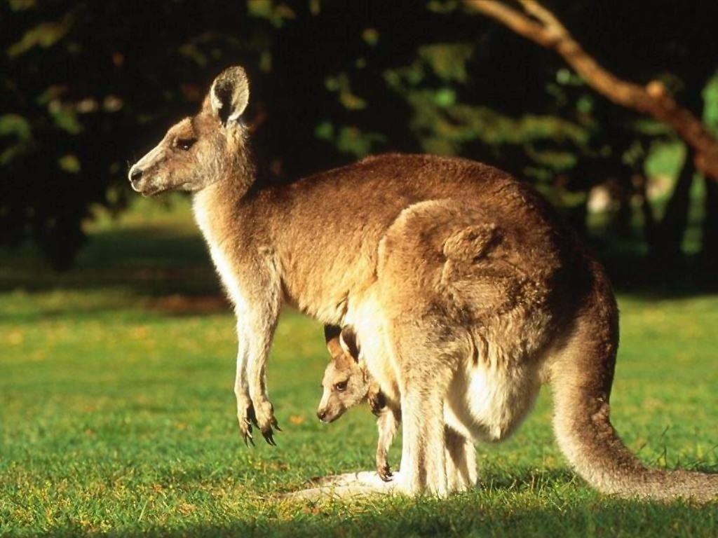Le Kangourou Roux : Macropus Rufus dans 10. Insolite Nature 3ob14jfx
