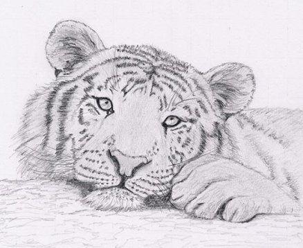 Tigre - Image dessin tigre ...
